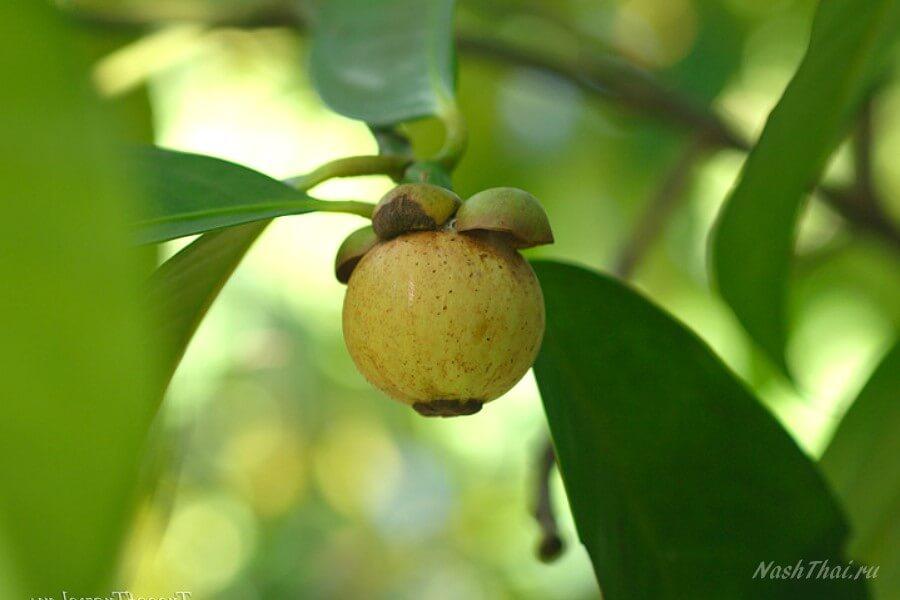 Неспелый мангостин