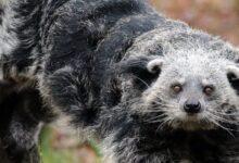 Photo of Бинтуронг: медведь с кошачьими повадками