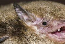 Photo of Почему таец никогда не будет есть летучую мышь Китти